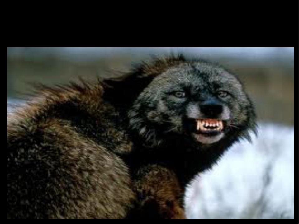 Wolverine (росомаха) [ˈwulvəri:n]