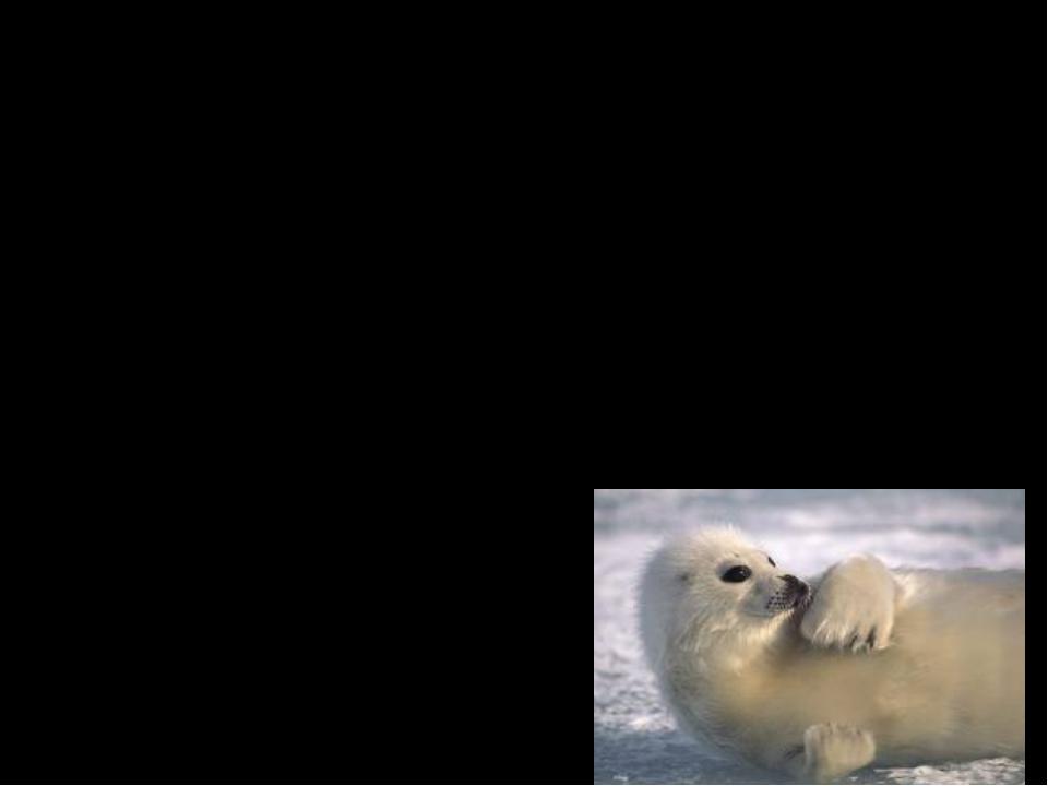 Interesting Facts Eat shellfish (моллюски) and smaller fish. Arctic seals hav...