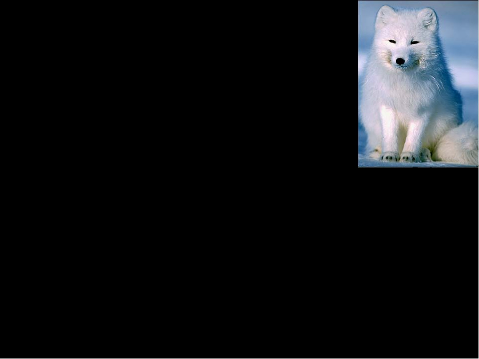 Interesting Facts The arctic fox has the warmest fur, even warmer than the po...