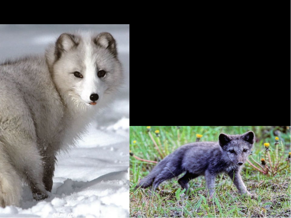 Interesting Facts Arctic fox can be either gray-blue or white. As summer begi...