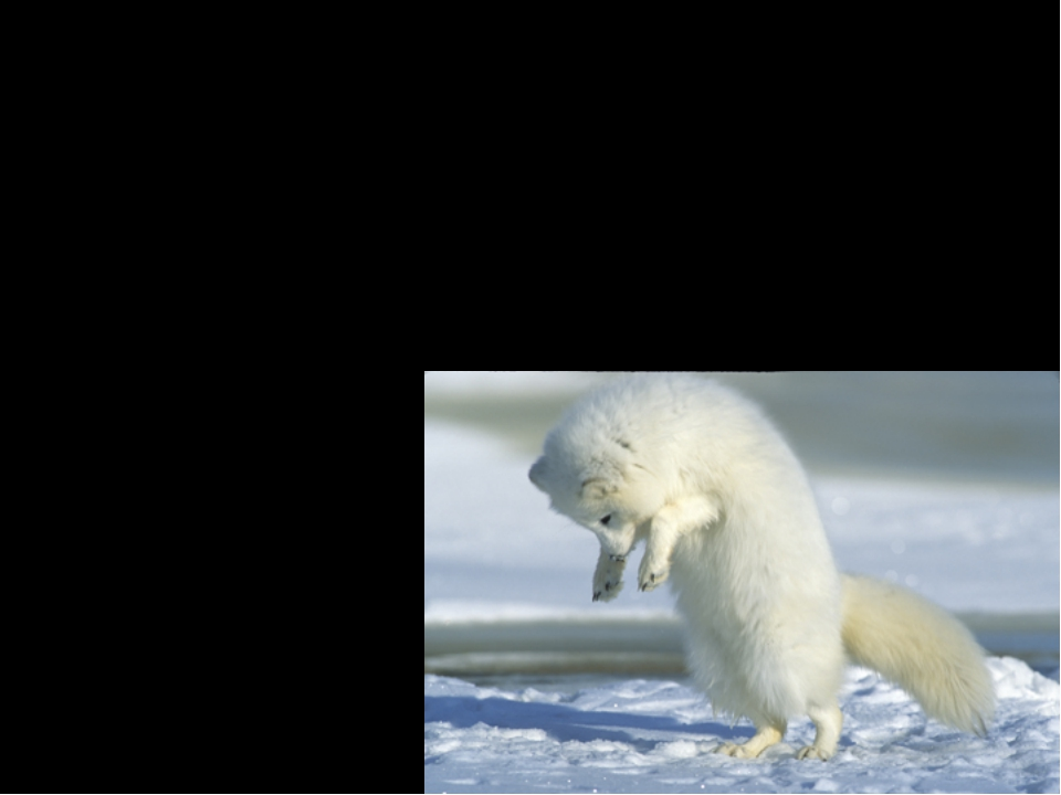 Interesting Facts Hunting: Arctic fox walk along on top of the snow listening...