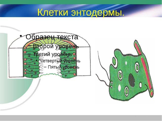 Клетки энтодермы.