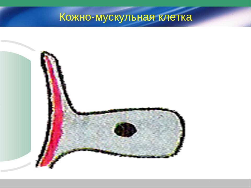 Кожно-мускульная клетка