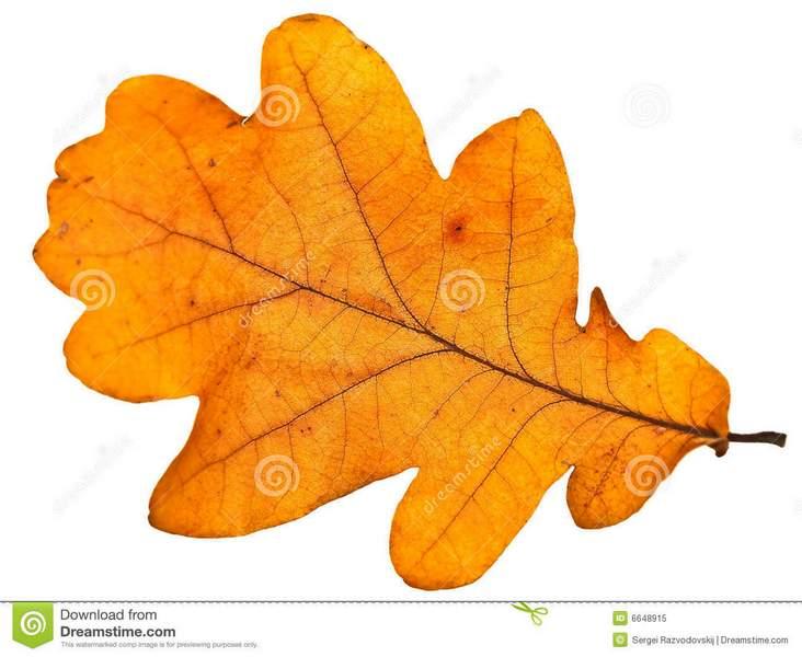C:\Users\User\Desktop\oak-leaf-6648915.jpg