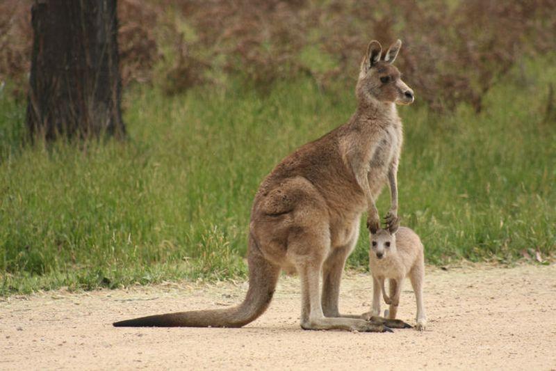 http://animalworld.com.ua/images/2014/July/Animals/A/kangurui.jpg