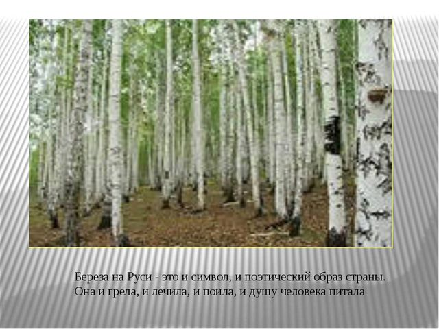 Береза на Руси - это и символ, и поэтический образ страны. Она и грела, и ле...