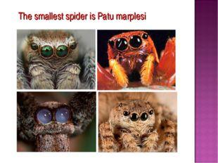 The smallest spider is Patu marplesi