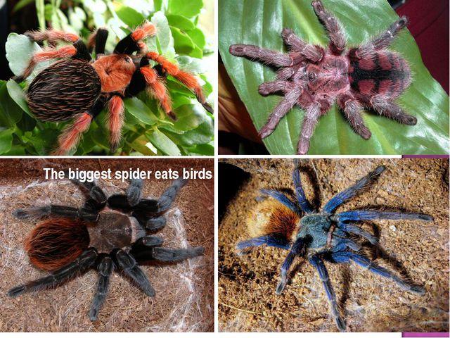 The biggest spider eats birds