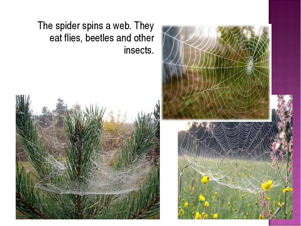 The spider spins a web. They eat flies, beetles and other insects.