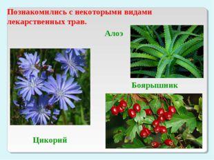 Познакомились с некоторыми видами лекарственных трав. Цикорий Алоэ Боярышник