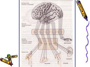 Всем известно, что все функции организма выполняются под контролем головного