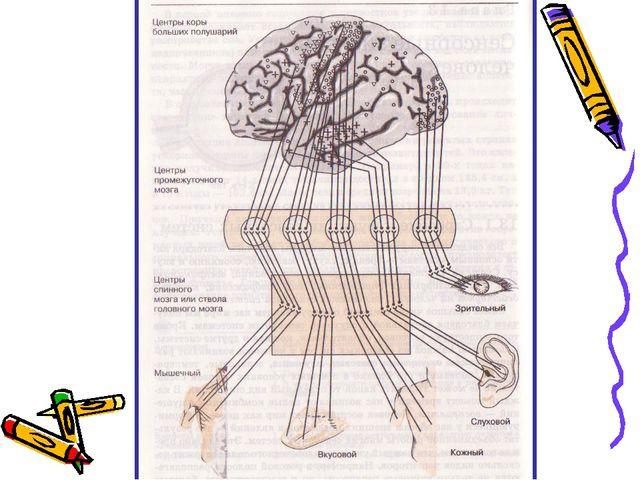 Всем известно, что все функции организма выполняются под контролем головного...