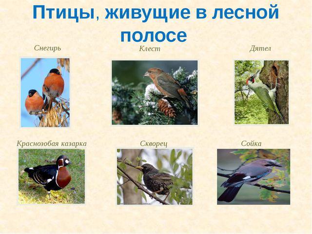 Птицы, живущие в лесной полосе Снегирь Клест Дятел Краснозобая казарка Скворе...
