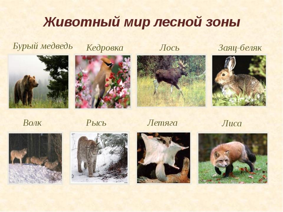 Животный мир лесной зоны Летяга Рысь Кедровка Бурый медведь Заяц-беляк