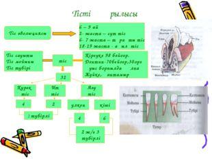 Тістің құрылысы Тіс эволюциясы 6 – 9 ай 2- жаста – сүт тіс 6- 7 жаста – тұрақ