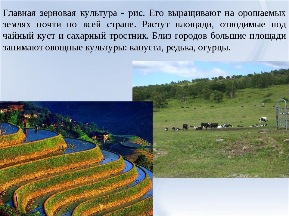 Главная зерновая культура - рис. Его выращивают на орошаемых землях почти по...