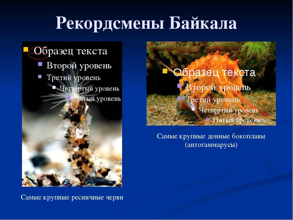Рекордсмены Байкала Самые крупные ресничные черви Самые крупные донные бокопл...