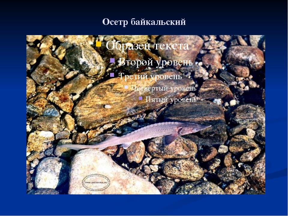 Осетр байкальский