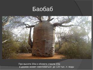 Баобаб При высоте 20м и обхвате ствола 20м в дереве может скапливаться до 120