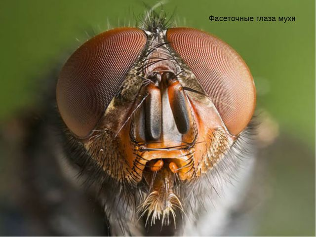 Фасеточные глаза мухи