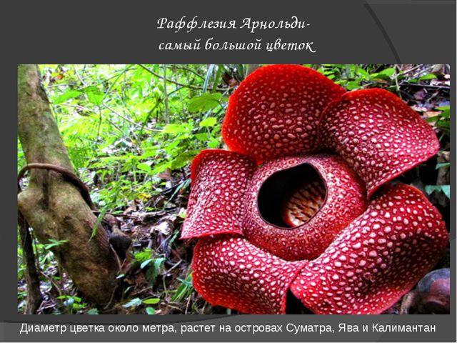 Раффлезия Арнольди- самый большой цветок Диаметр цветка около метра, растет н...