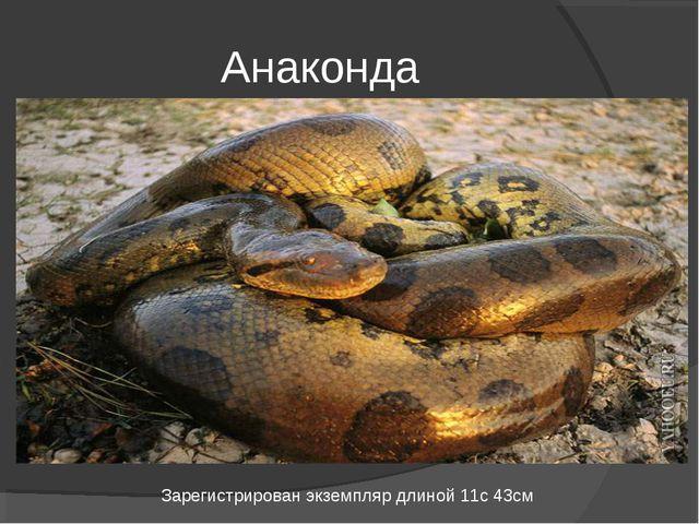 Анаконда Зарегистрирован экземпляр длиной 11с 43см
