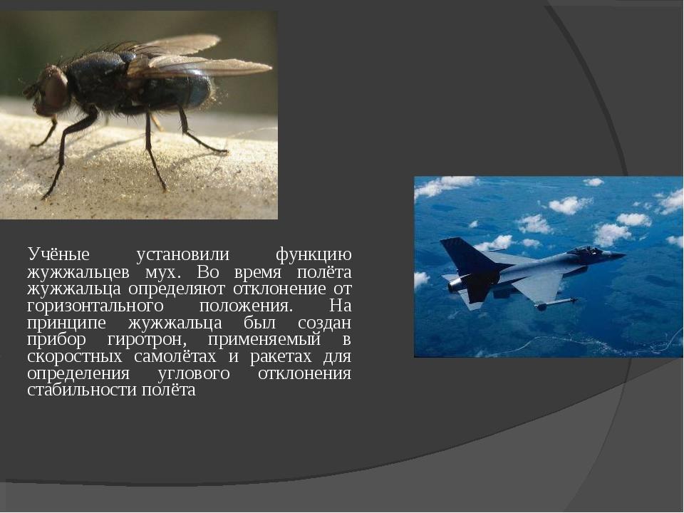 Учёные установили функцию жужжальцев мух. Во время полёта жужжальца определя...