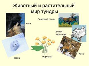 Животный и растительный мир тундры волк песец морошка лиса Белая куропатка Се