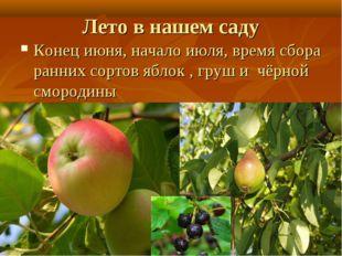 Лето в нашем саду Конец июня, начало июля, время сбора ранних сортов яблок ,