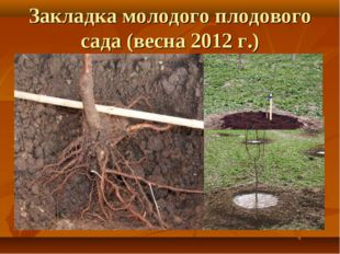 Закладка молодого плодового сада (весна 2012 г.)