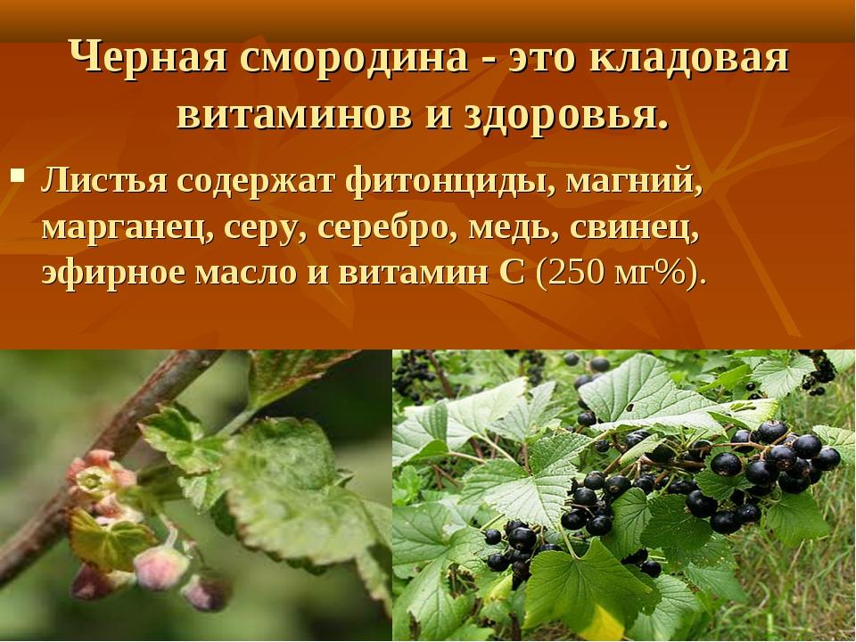 Черная смородина - это кладовая витаминов и здоровья. Листьясодержат фитонци...