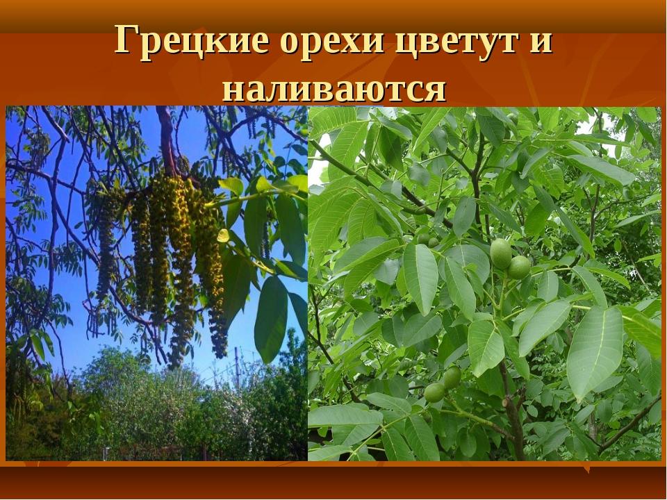 Грецкие орехи цветут и наливаются