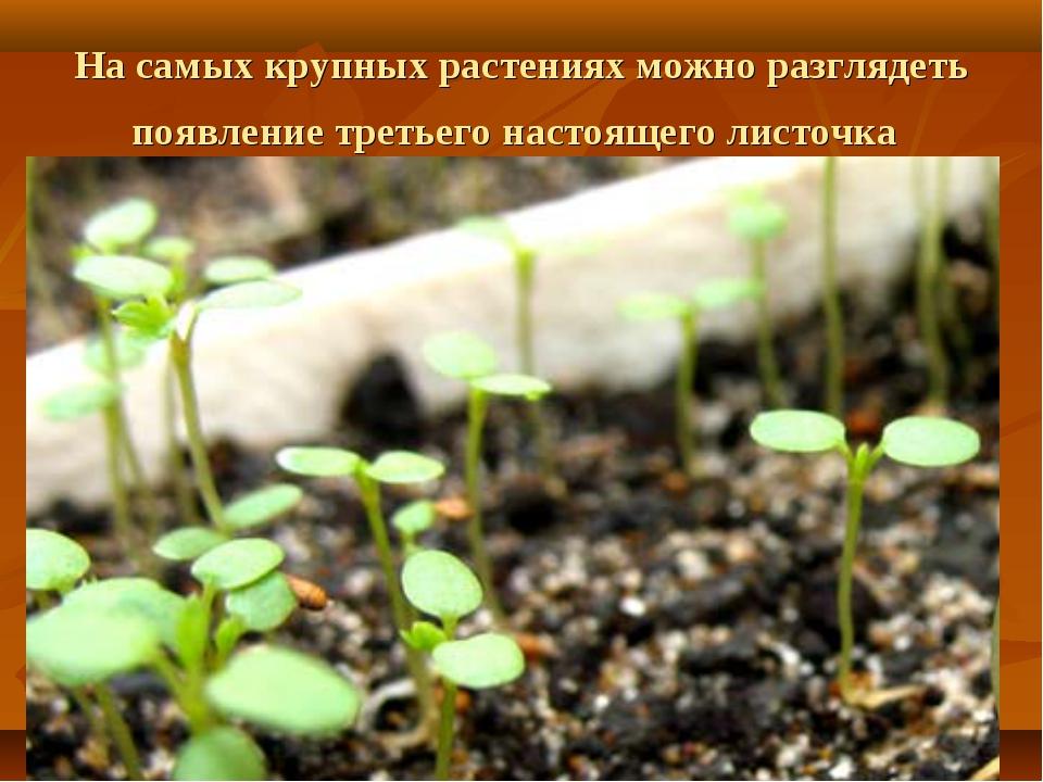 На самых крупных растениях можно разглядеть появление третьего настоящего лис...