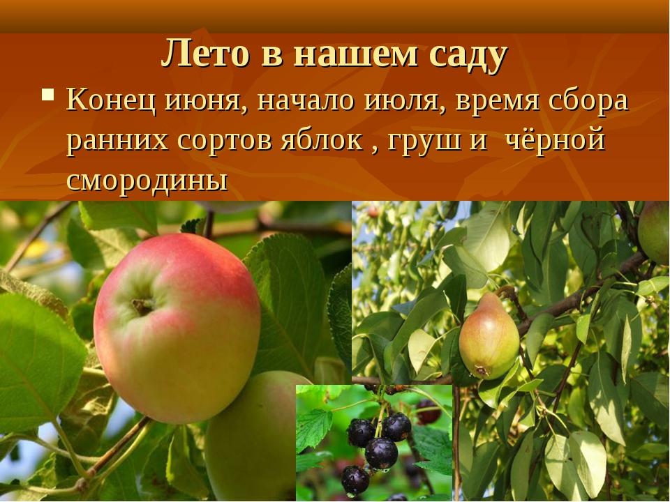 Лето в нашем саду Конец июня, начало июля, время сбора ранних сортов яблок ,...