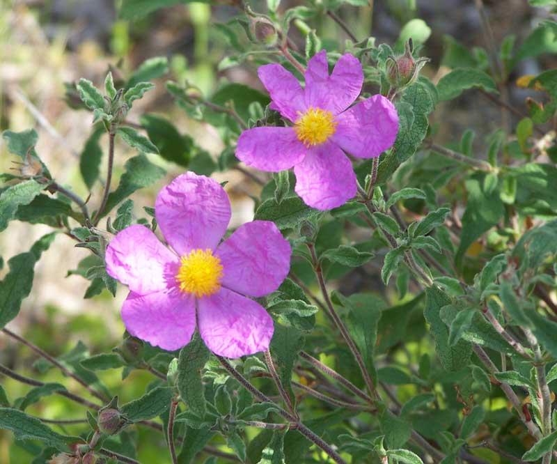 http://www.artekovetc.ru/flora/lad.jpg