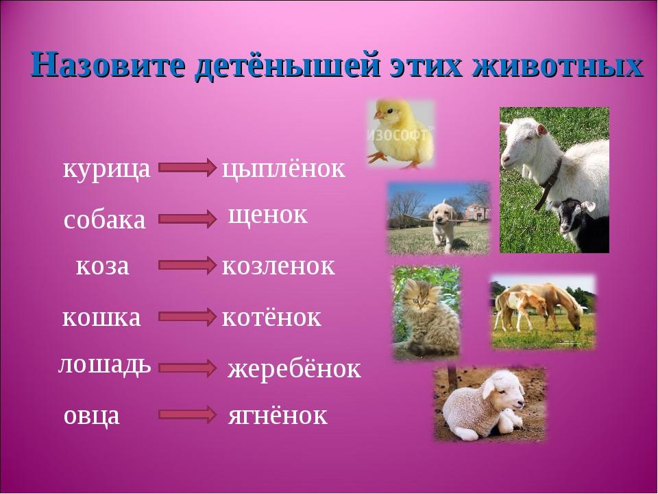 курица собака коза кошка лошадь овца Назовите детёнышей этих животных цыплёно...
