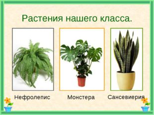 Растения нашего класса. Нефролепис Монстера Сансевиерия