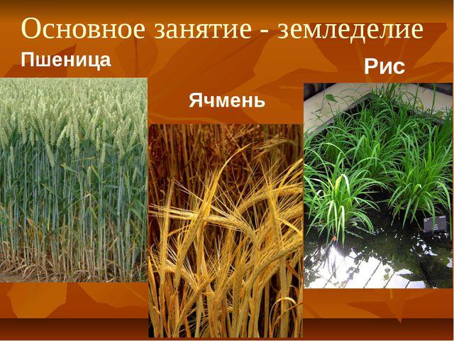 Основное занятие - земледелие Пшеница Ячмень Рис