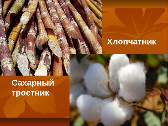 Сахарный тростник Сахарный тростник Хлопчатник