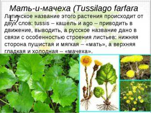 Мать-и-мачеха (Tussilago farfara L.) Латинское название этого растения происх