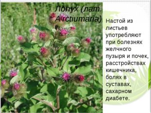Лопух (лат. A'rctiumaria) Настой из листьев употребляют при болезнях желчного