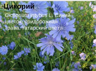 Цикорий ]) Cichorium intybus L. Синий цветок, придорожная трава, татарский цв