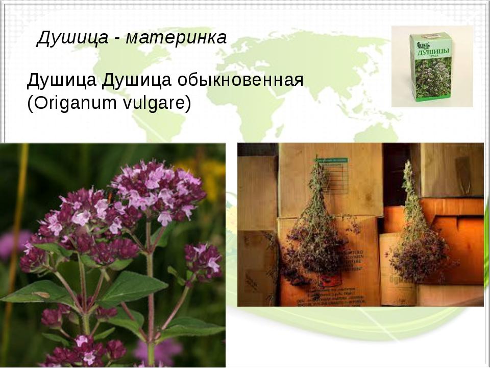 Душица - материнка Душица Душица обыкновенная (Origanum vulgare)