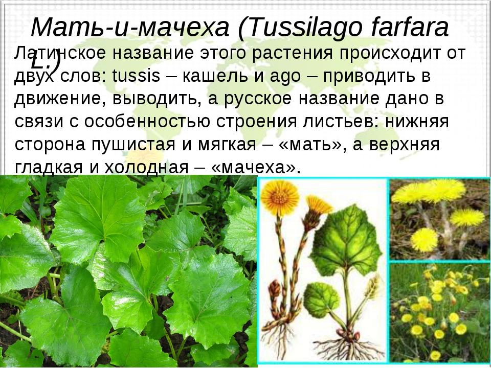 Мать-и-мачеха (Tussilago farfara L.) Латинское название этого растения происх...
