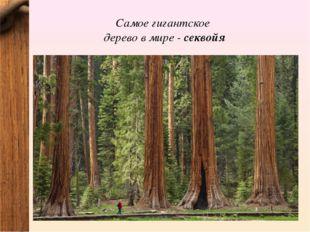 Самое гигантское дерево в мире - секвойя