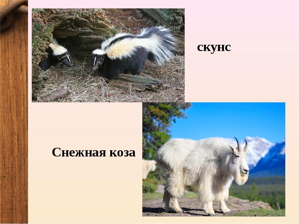 скунс Снежная коза