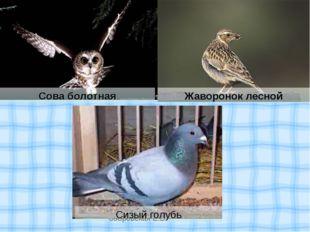 Жаворонок лесной Сова болотная Сизый голубь бобровская Е.В.