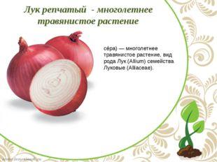 Лук ре́пчатый (лат. Állium cépa) — многолетнее травянистое растение, вид род