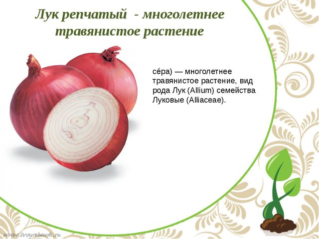Лук ре́пчатый (лат. Állium cépa) — многолетнее травянистое растение, вид род...