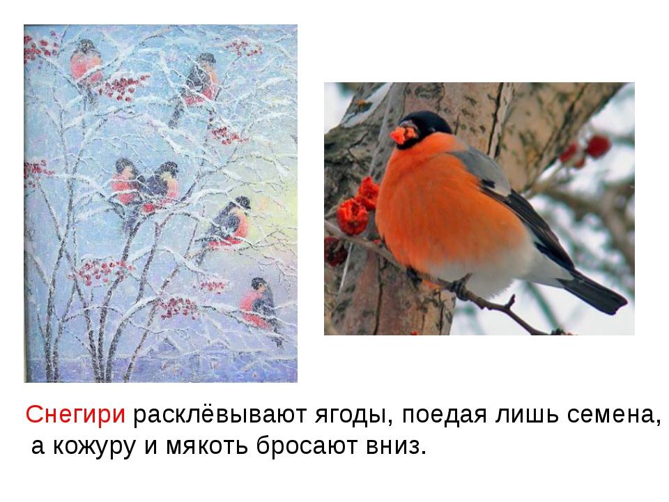 расклёвывают ягоды, поедая лишь семена, а кожуру и мякоть бросают вниз. Снег...